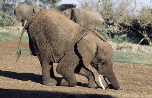 Image result for elephant bowing