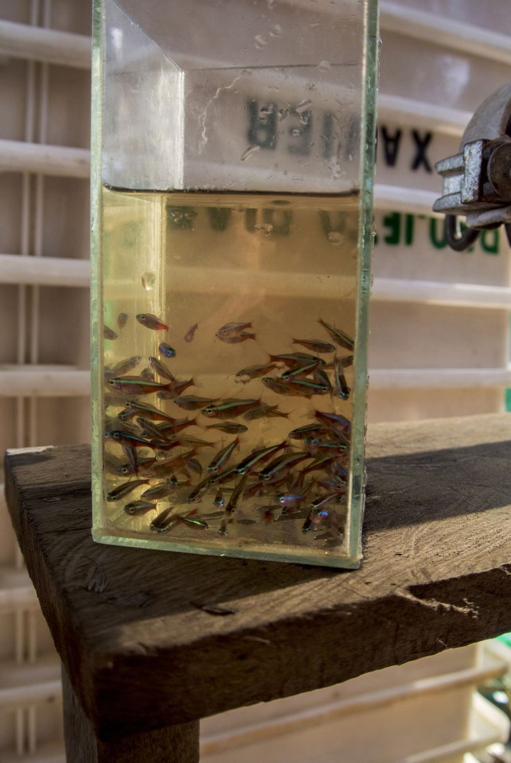 Fish aquarium in niagara falls - The Tiny Amazonian City That Supplies Aquarium Fish To The World