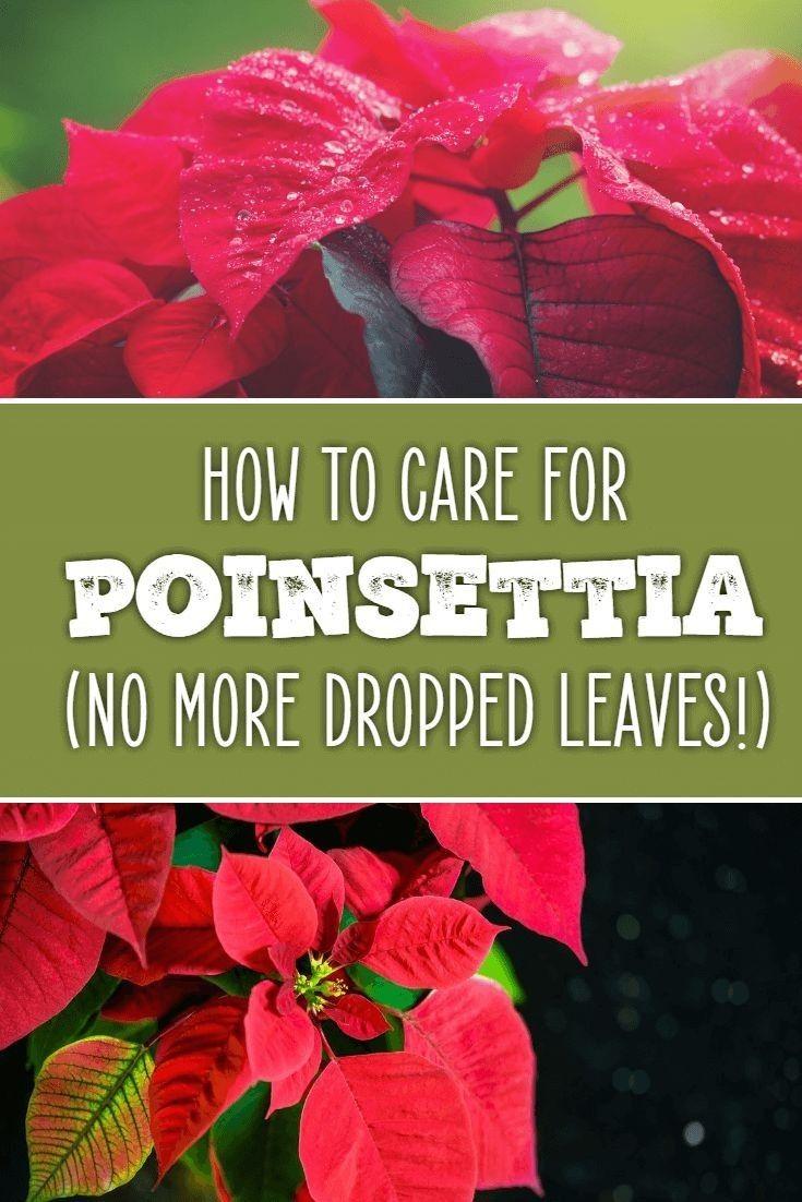 How To Care For Poinsettia Plants Poinsettia Plant Plants Poinsettia Care