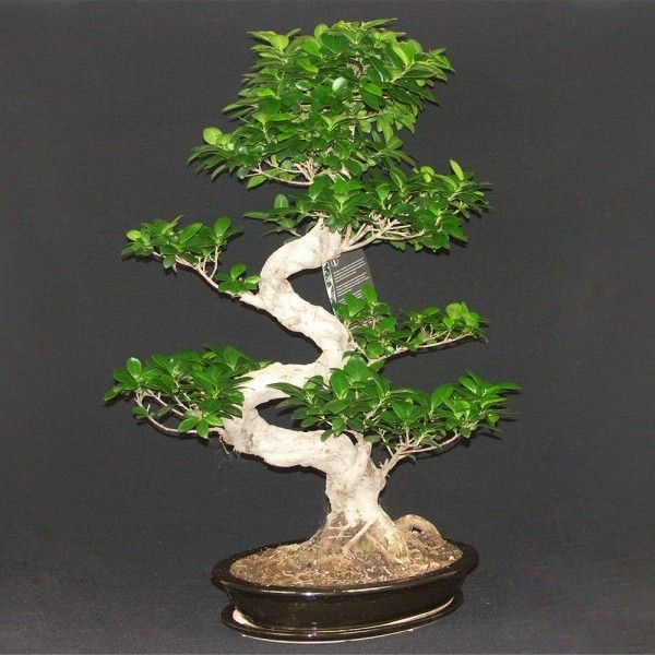 9 best bonsai plants for offices images on pinterest - Bonsai ficus ginseng entretien ...