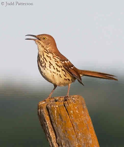 Utah Bird Profile - Brown Thrasher