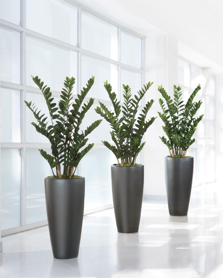 Замиокулькас прекрасно дополнит интерьеры в стиле минимализм