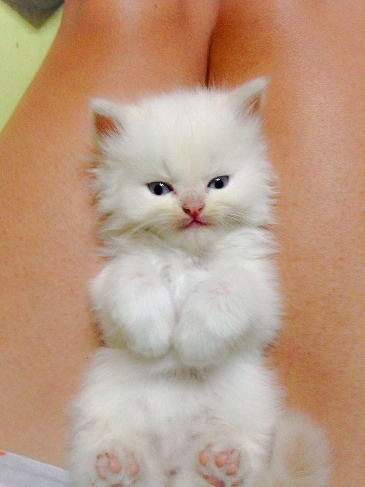 Himalayan kitten point cream