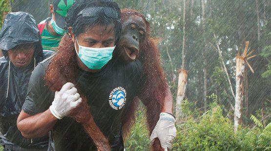Verletzter Orang-Utan wird von Umweltschützer getragen-Bitte unterschreibt: Rettet die Orang-Utans! Stoppt Palmöl!