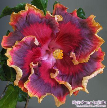 Hibiscus More