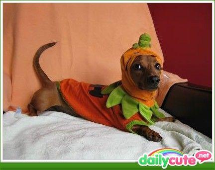 Dogs - Dachshund + Halloween Costume = Halloweenie