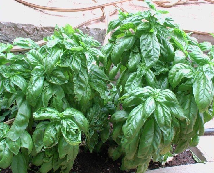 L'orto sul balcone: il basilico, la regina delle piante aromatiche