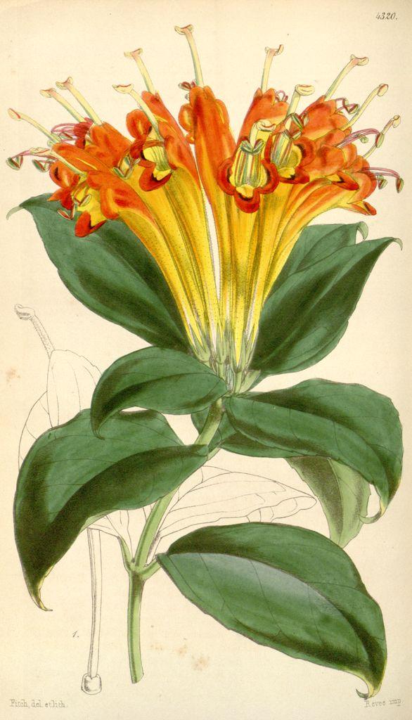 Aeschynanthus speciosus, Showy Aeschynanthus. Curtis's Botanical Magazine, Plate 4320 (Volume_73,_1847)