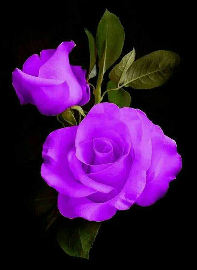 Purle roses