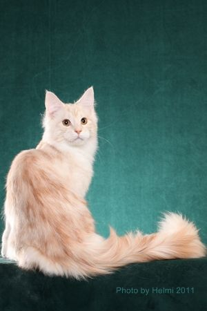 Cameo (Red Silver) Maine coon
