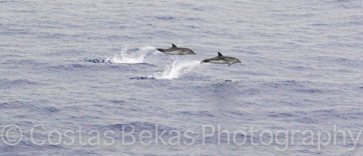 beckas photography    aegean sea dolphin, july 2000