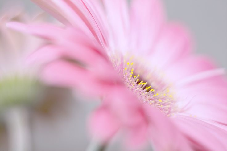 #Pink explosion. #Flower #photography