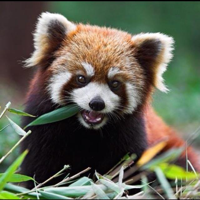 Assez 239 best Red Panda images on Pinterest | Red pandas, Panda bears  EX76