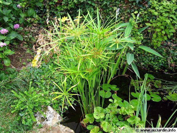 Un Cyperus alternifolius dans le bassin en été est rentré au frais durant l'hiver