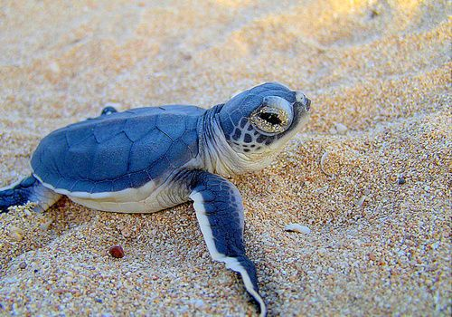 baby blue turtle