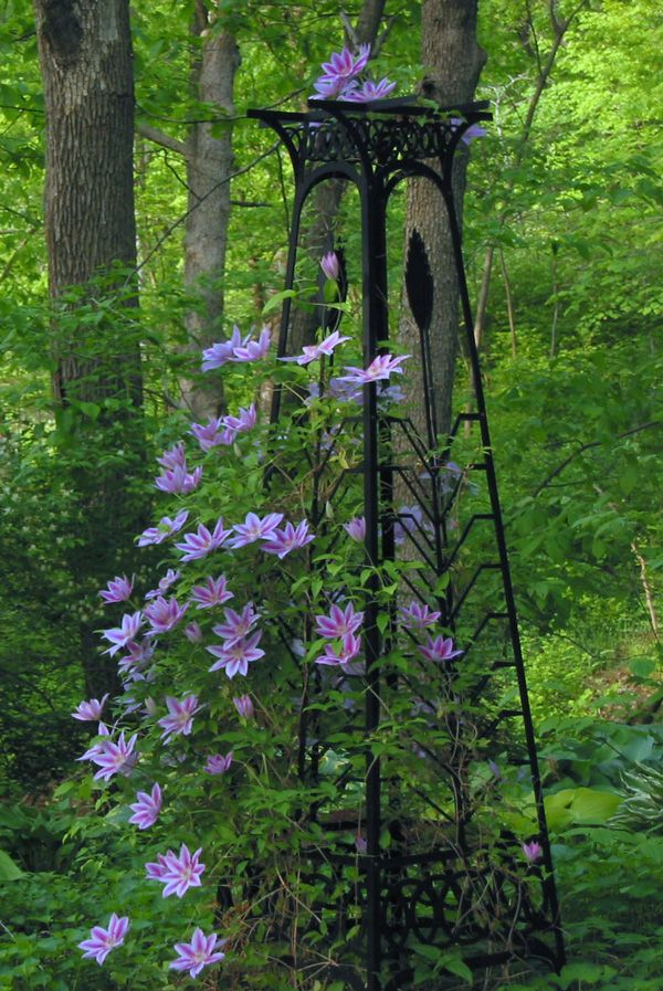 Wish my clematis had thrived like this! Love the wrought-iron tower trellis.