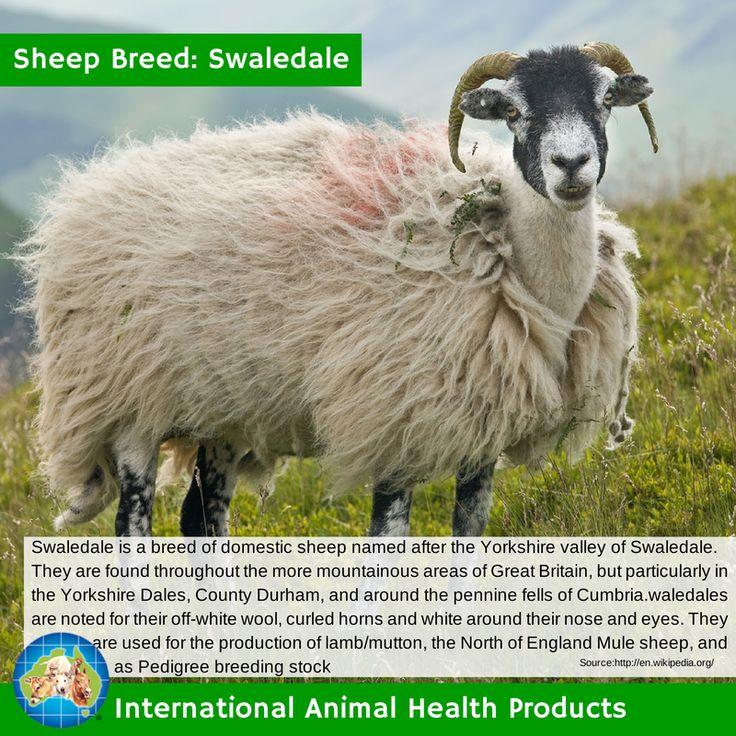 #swaledalesheep #swaledale #sheep #ram #ewe #lamb #sheepbreed #breed #facts #green #iah #iahp #internationalanimalhealth #poultry #animal #facts #breeds #livamol #protexin