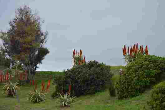 Aloes along Links Road