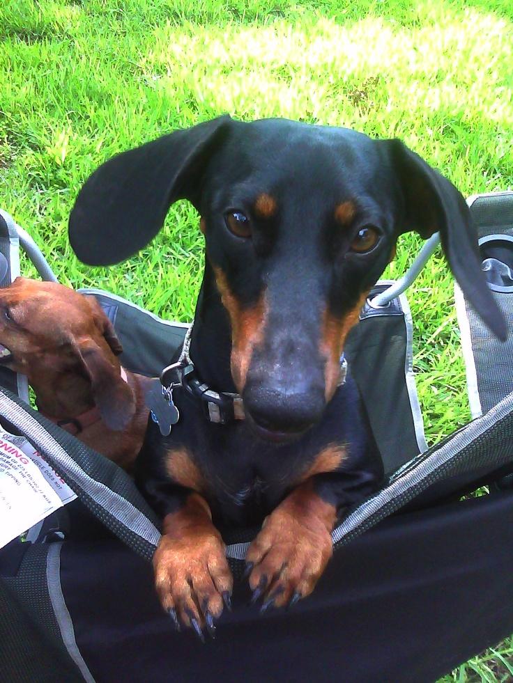 Brutus Maximus Aurelius Perales, the wonder dachshund
