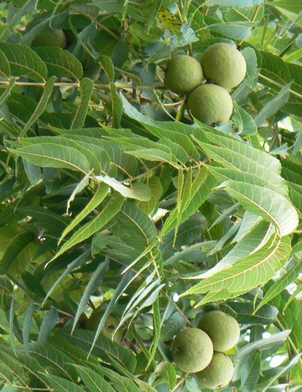 Black Walnut - husk used as aid for intestinal system for tapeworms and other parasites; burns excess toxins and fat while balancing sugar levels; remedy for bad blood diseases - syphilis, etc.; good cleansing herb.