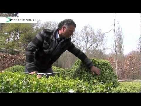 Buxus snoeien - Tuinieren.nl - YouTube #buxus #snoeien
