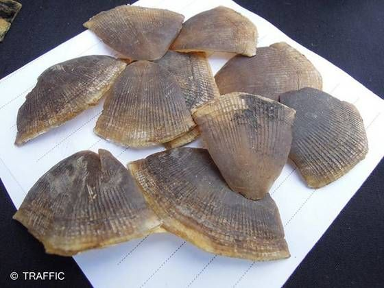 Sell African pangolin scales - Africanpangolinscales