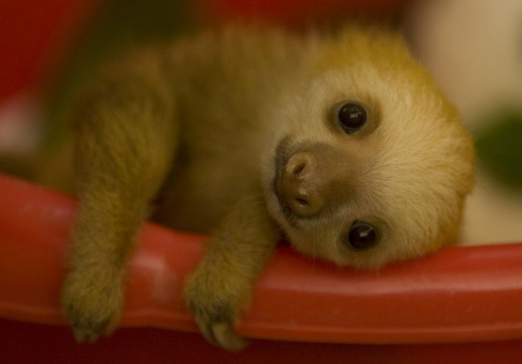 sloth baby: Cuteness, Pet, Babysloth, Baby Sloths, Creatures, Adorable, Baby Animals, Things, Sloth Baby