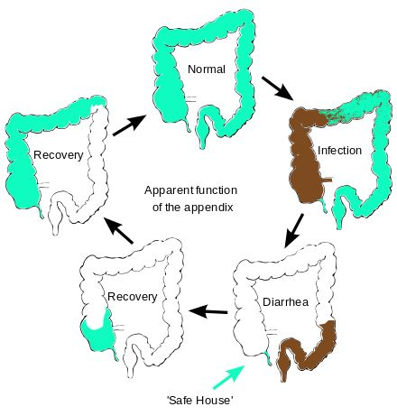 Appendix function diagram - Appendix (anatomy) - Wikipedia, the free encyclopedia