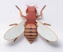 Common Fruit Fly (Vinegar Fly) Free Papercraft Download - http://www.papercraftsquare.com/common-fruit-fly-vinegar-fly-free-papercraft-download.html#CommonFruitFly, #DrosophilaMelanogaster, #Fly, #VinegarFly