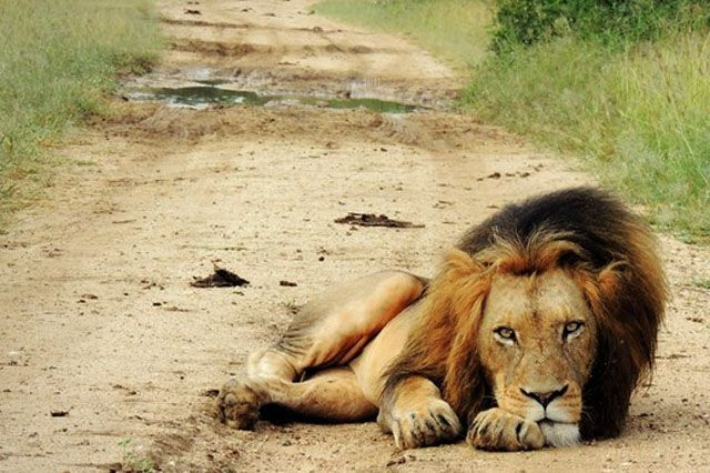 Photographer Kathryn Sweeney snapped this black-maned male lion during a safari outside Pretoria, South African. In the 1950s, the global lion population was 450,000. Today, there may be as few as 20,000 lions left.