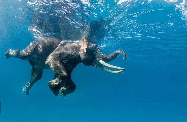 swimming-elephant