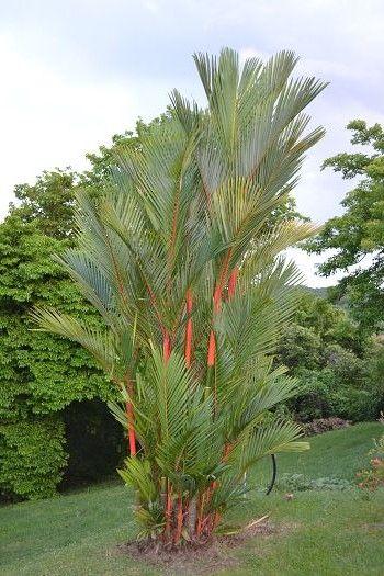 Entretien palmier tronc rouge