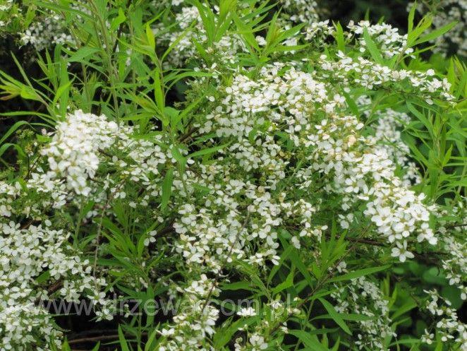 Tawuła Thunberga - Spiraea thunbergii - wolno rosnący krzew osiągający do 1m wysokości. Pędy cienkie przewisające. Liście drobne jasnozielone, kwiaty pojawiające się już na przełomie kwietnia maja. Kwiaty drobne białe, na całych pędach, tworzą girlandy. Krzew wrażliwy na mróz. Wymaga stanowiska żyznego; młode rośliny nawozić fosforem, aby system korzeniowy dobrze się rozrósł wtedy roślina zniesie nawet największe susze.