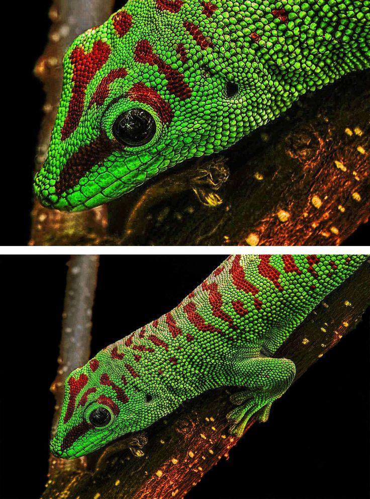 Awesome Gecko zweimal gedruckt auf Acrylglas f r mehr Leuchtkraft und Tiefe Bei anspruchsvollen Fotomotiven erreicht man