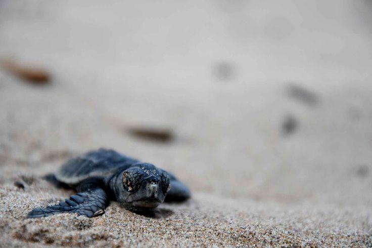 Sur la plage de Saint-Aygulf , des tortue sont sorties du sable pour rejoindre la mer.