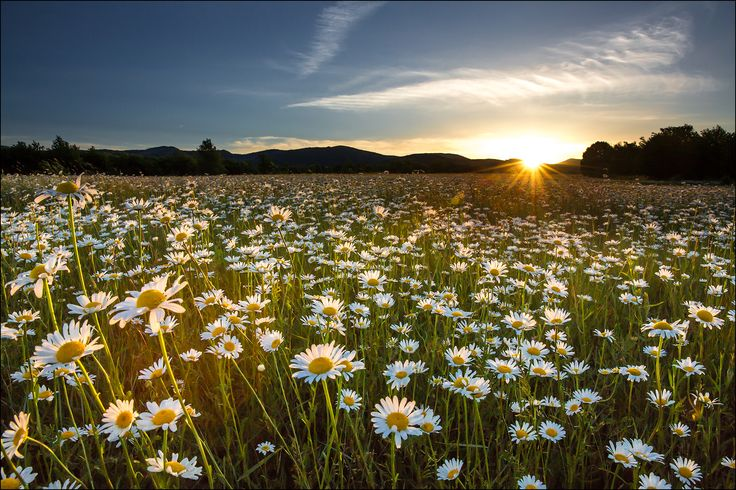 Бельбекская долина в Крыму, ромашковое поле.