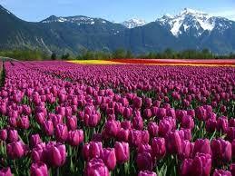 Resultado de imagem para тюльпановые поля в голландии