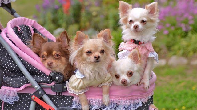 Hermosos Perritos Chihuahua