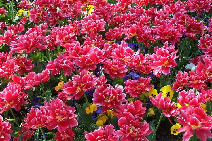 Tulips in Amsterdam, the Netherlands ( photo credits : Ingrid Jonkers ).