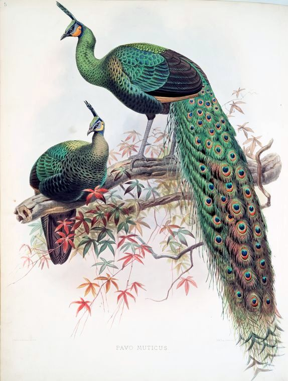 Peacocks, Green Peafowl (Pavo muticus)  fromA monograph of the Phasianidae, Family of the pheasants,1872, by Daniel G. Elliot