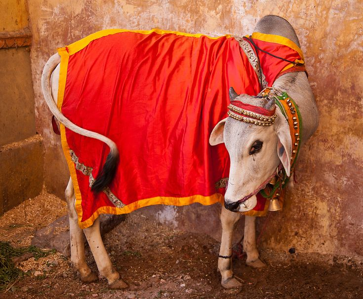 "A Response to ""India's Sacred Cow"""