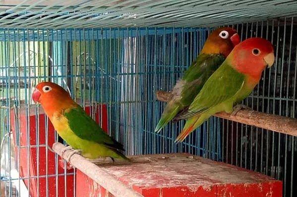 Cara Beternak Burung Lovebird Bagi Pemula