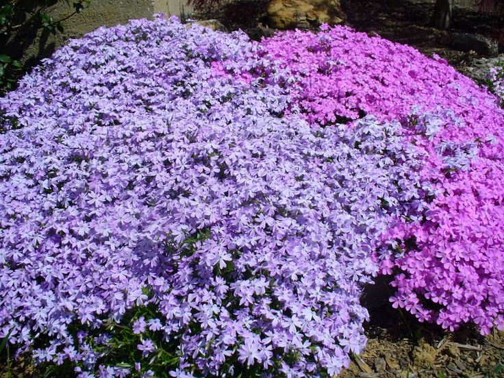 Spring Shades Of Purple Creeping Flox Rock Garden