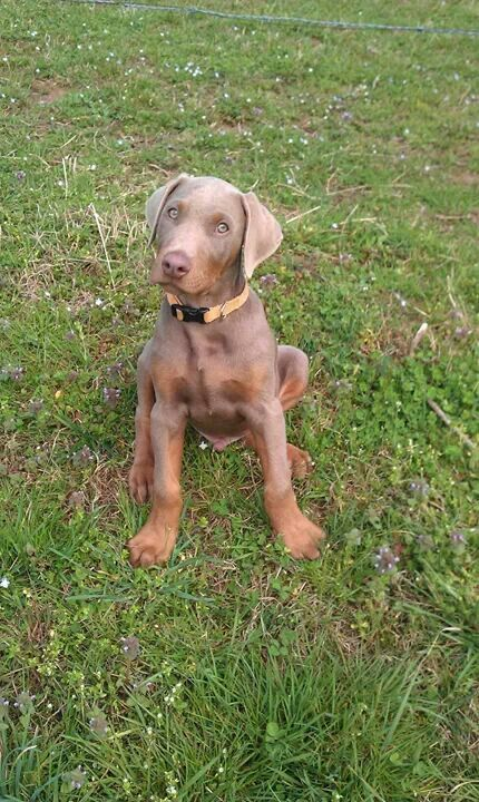 Called the breeder today. Hopefully we'll get a fawn as pretty as this one!