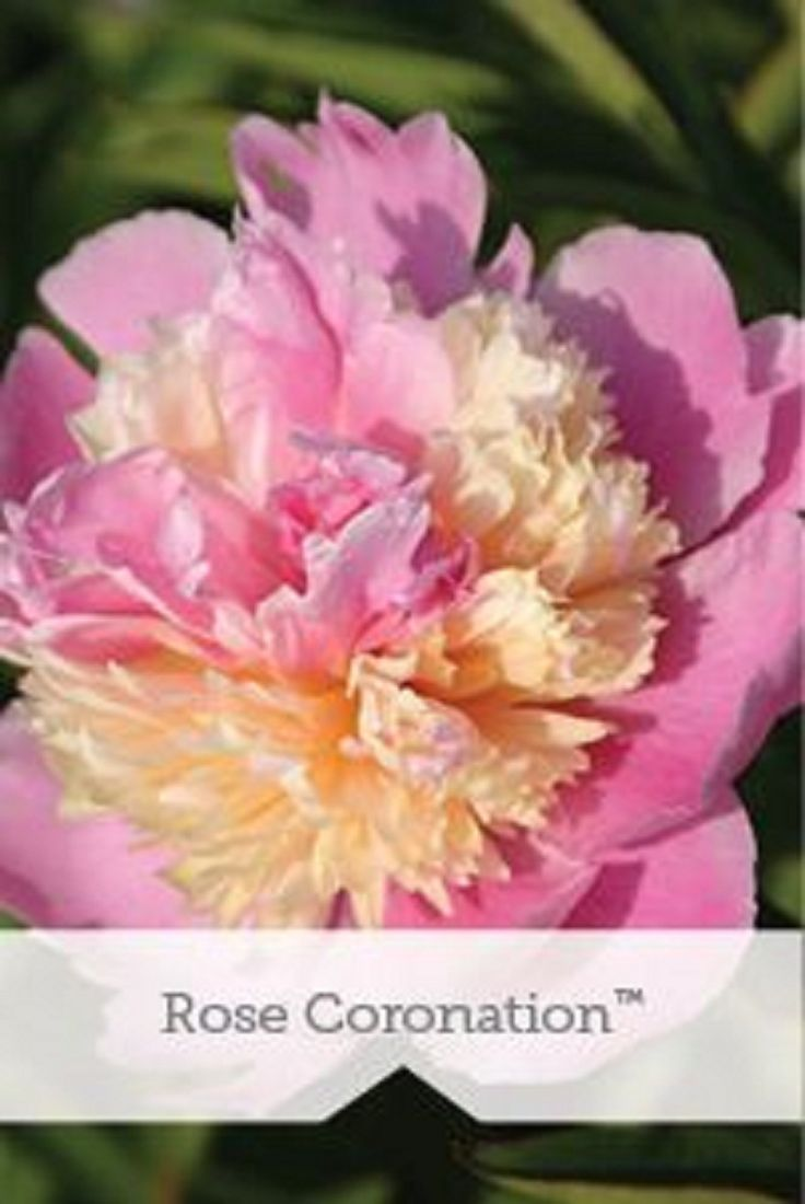 320 best shrubs bushes small trees images on pinterest peony rose coronation dhlflorist Gallery