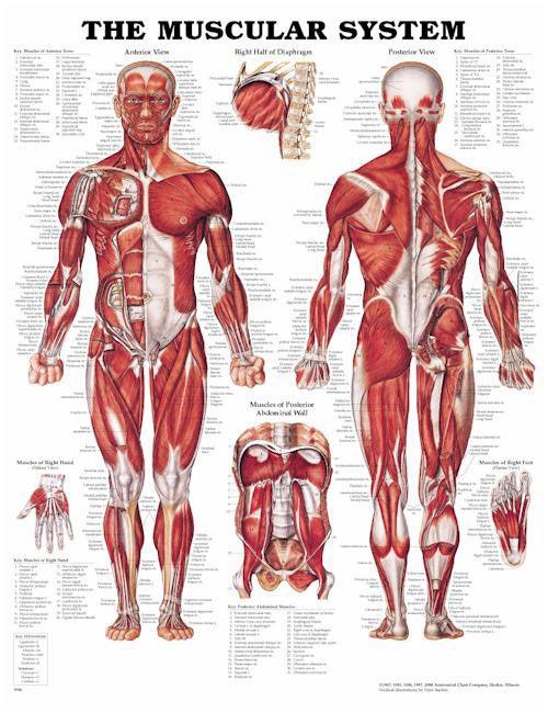 Anatomy massage therapy