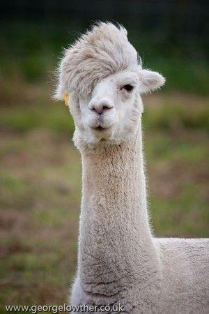 Way Cool Alpaca...