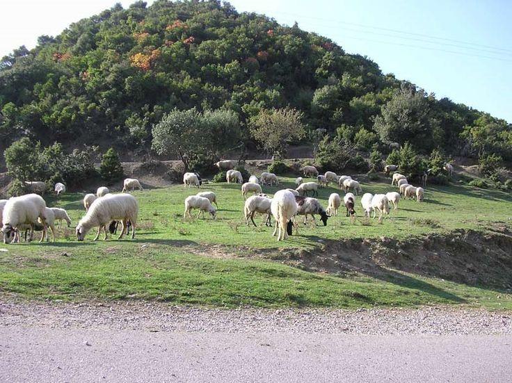 Πρόβατα στα Αρμάμπελα Photo from Kato Potamia in Evritania | Greece.com. shaff...
