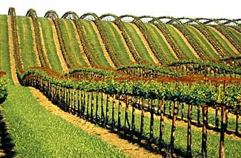 Agriculture, Sacramento Valley - San Joaquin Valley - Vineyards In Rolling Hills Near Zamora - Yolo County - Stock Photography and Images from Tom Myers Photography - Sacramento, California