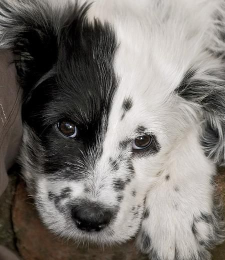 "Border Collie / Dalmatian mix puppy ""Such a PRECIOUS Lil' Face""!!!!!  Sooooo Cute"